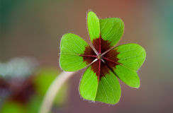 Four - Leaved Clover. Green with red center Stock Image