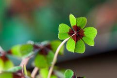 Four - Leaved Clover. Green with red center Stock Photos