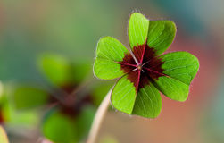 Four - Leaved Clover Royalty Free Stock Photos