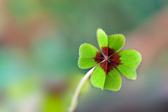 Four - Leaved Clover. Green with red center Royalty Free Stock Photo