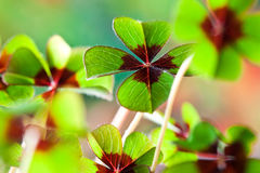 Four - Leaved Clover. Green with red center Stock Photo
