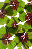Four leaved Clover Stock Image