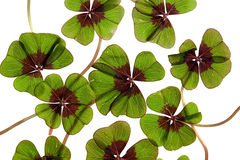 Four leaved Clover Stock Photography