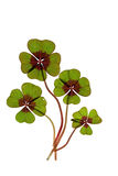 Four leaved Clover. Closeup of green four leaved clover plants on white Royalty Free Stock Images