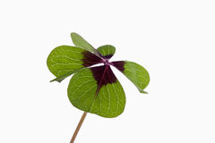 Four leaved clover Stock Photos