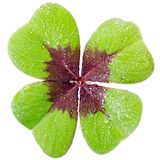Four-leaved cloverleaf. A four-leaved cloverleaf isolates before white background Royalty Free Stock Photos