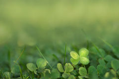 Four leaved fortune clover growing in sunlight on ground. Finding four leaf clover. Green background for good luck presentation. charm symbol growing naturally Royalty Free Stock Photos