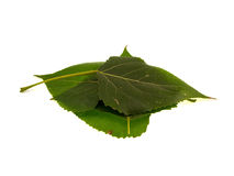 Four leaves of a poplar Stock Photography