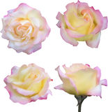Four light cream rose blooms isolated on white. Illustration with four light rose blooms isolated on white background Stock Photography