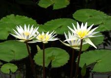 four lilies water white Стоковое Изображение