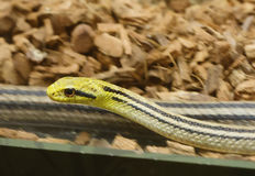 Four-Lined Snake Stock Photo