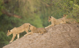 Four Lion cubs (Leo panthera) on termite mound. One cub walks down as the others look on Royalty Free Stock Photography