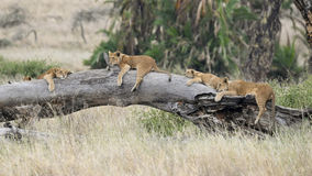 Four Lion cubs lying on a large fallen tree trunk Stock Images
