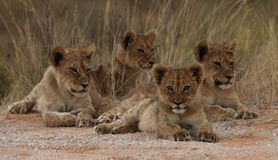 Four lion cubs Stock Photo