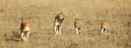 Four lion cubs walking Royalty Free Stock Images
