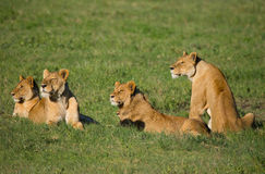 Four lioness Stock Photo