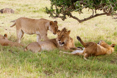 Four Lions. Resting in the shade Royalty Free Stock Photography