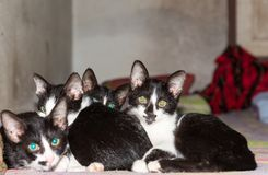 Four Little black kittens sleeping together on bed looking at th Stock Photo