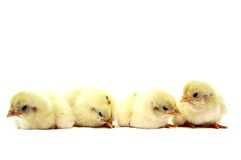 Four little chick isolated on white background Stock Photo