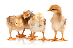 Four little chickens standing on white Royalty Free Stock Photography