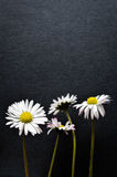 Four little daisy flowers on black textured background. Closeup Stock Photo