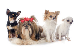 Four little dogs royalty free stock photo