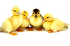 Four Little Ducklings. Stock Photos