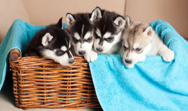Four puppies Husky Stock Images