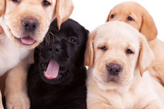 Four little labrador retriever puppies Royalty Free Stock Image