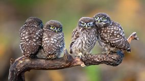 Four little owls sitting in pairs on a stick Royalty Free Stock Photography