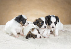Four little Papillon puppy Royalty Free Stock Photos