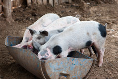 Four little pigs Royalty Free Stock Photo