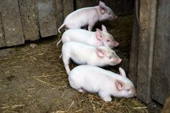 Four little pink pigs. Newborn animals. Small animals. Dark background Royalty Free Stock Photos
