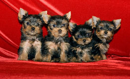 Four little puppies. Of breed Yorkshire terrier on a red background Stock Image