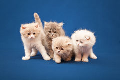 Four little Scottish purebred kittens Stock Photo
