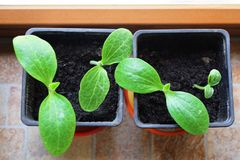 Four little seedlings of zucchini stock image