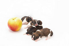 Four little shih tzu puppies are sleeping near big apple Stock Image