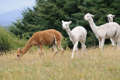 Four Llamas in Chile Stock Photography