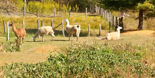 Four Llamas in a pasture Royalty Free Stock Photography