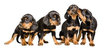 Four lovely puppies. Together isolated on white background stock image