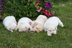 Four lovely puppies sleeping on the garden Stock Photography