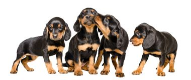 Four lovely puppy breed Slovakian Hund. Isolated on white background Royalty Free Stock Photography