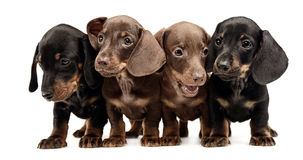 Four lovely puppy dachshunds staying side by side in white studio. Four lovely puppy dachshunds staying side by side in white photostudio royalty free stock image