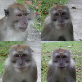 Four macaque monkeys. These are long tail macaques from singapore. These live about 5oo metres from my house. they are male. they have interesting expressions Royalty Free Stock Photography