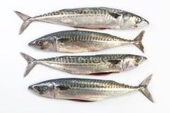 Four Mackerel fish Stock Images