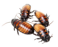 Four Madagascar cockroaches Royalty Free Stock Photography
