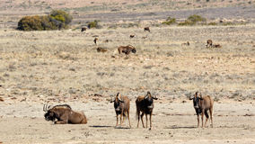 The four main Black Wildebeest in the front Royalty Free Stock Photography