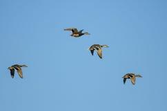 Four Mallard Ducks Flying in a Blue Sky. Four Mallard Ducks Flying in a Clear Blue Sky Stock Photos