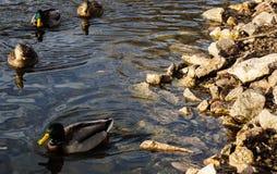 Four mallard ducks swimming by rocky shore. Swimming along a rocky shoreline at a nature preserve are two female and two male mallard ducks Stock Photo