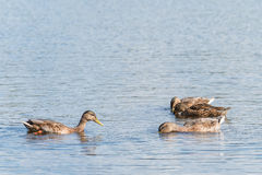 Four Mallard swimming and seeking food. Four female mallard swimming and seeking food Stock Image